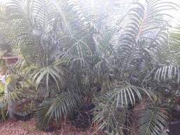 Palmeira muda média