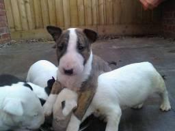 Bull Terrier Inglês * Stefany