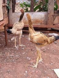 Vendo essas lindas galinhas gigante