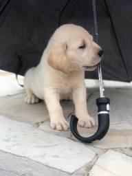 Labrador com pedigree e microchip em ate 12x