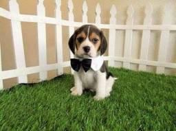 Beagle macho 13 Polegadas tricolor pedigree garantia de saúde !!!