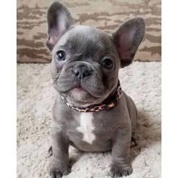 quero comprar filhotes de Bulldog francês ou Pug fêmeas