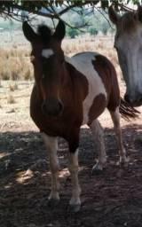 Cavalo Pampa Inteiro