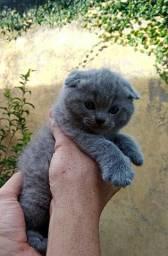 Novo Filhote De Gato Scottish Fold Azul