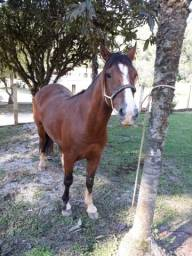 Cavalos crioulo