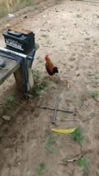 Galinhos e galinhas garnisé