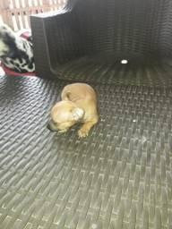 Pinscher filhote de 45 dias