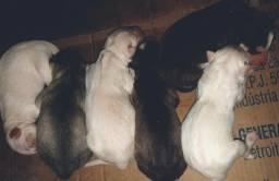 Filhotes de Husky Siberiano Wooly em Barreiras-BA