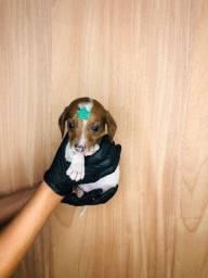 Lindos Minis Filhotes de basset dachshund !!!!