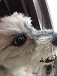 Cachorrinho precisando ser operado do olho