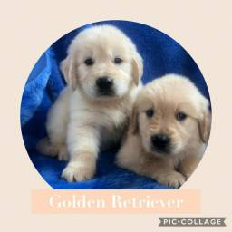 Golden Retriever com pedigree e microchip em ate 18x