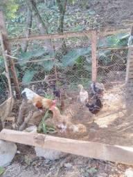 Vendo galinhas junto ou separadas