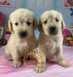 Filhotes de Golden Retriever super fofos