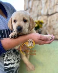 Lindos Filhotes de Labradores Já Disponíveis