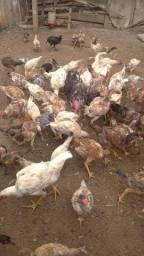 Aves galinhas caipiras