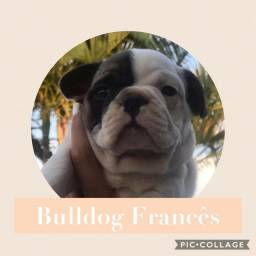 Bulldog Francês com pedigree e microchip em ate 18x e