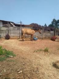 Vendo cavalo bretão e égua campolina