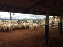 REF 456 Fazenda 220 alqueires, estrutura para pecuária, Imobiliária Paletó