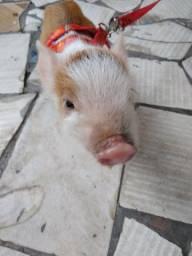 Vendo mini porco 1500 reais aceito oferta