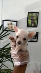 Chihuahua pelagem longa e curta, adquira conosco e tenha garantias e suporte veterinário!