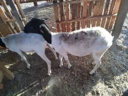 15 ovelhas tudo amojada da raça dope