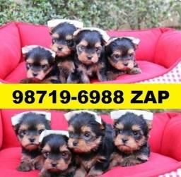 Canil Filhotes Cães Lindos BH Yorkshire Basset Shihtzu Beagle Lhasa Maltês Poodle Lulu