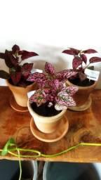 Zamiocuca planta