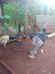 Vendo casal de peru