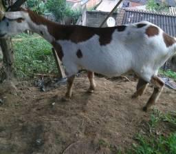 Vendo cabras de leite