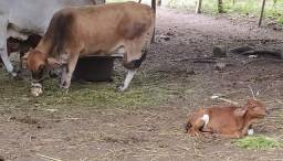 Mine vaca parida