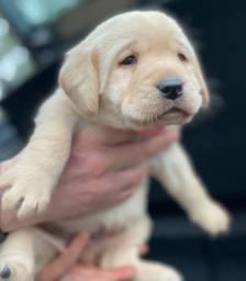 Labrador chocolate/amarelo/preto, machos e fêmeas * larissa