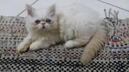 Gatinha persa filhote fêmea