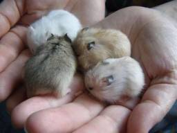 Hamster Anão Russo filhotes saudáveis