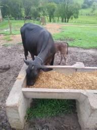 Vaca girolanda primeira cria