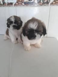 Filhotes cachorro Shihtzus 600,00