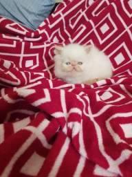 Fêmea de gato persa show