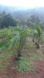 Mudas de coco anão em Dona Euzébia