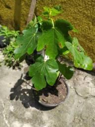 Muda de figo