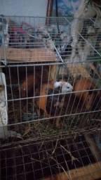 Vendo ou troco  porquinhos da Índia machos e fêmea, cada fica por 25.