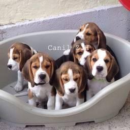 Beagle filhotinhos padrão com pedigree e garantias