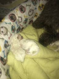 Poodle toy filhote 24cm