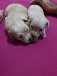 Filhotes de Lhasa com poodle