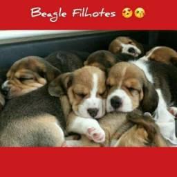 Machos e Fêmeas Beagle Mini Filhotes Pedigree!!!