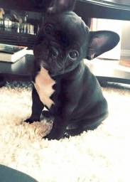 Bulldog Francês macho ja vacinado e vermifugado
