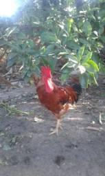 Vendo galinhas e galos