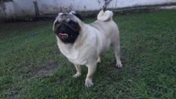 Pug Procura Namorada!!!