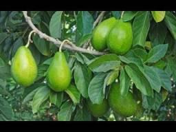 Vendo 3 pés de abacate