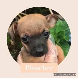 Pinscher com pedigree e microchip em até 18x