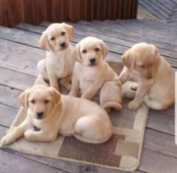 Labrador chocolate/amarelo/preto, machos e fêmeas com garantias e suportes
