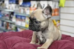 Vendo lindas filhotes de Bulldog Francês